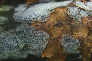 Ceratiomyxa fruticulosa