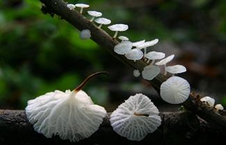Marasmiellus albuscoricis