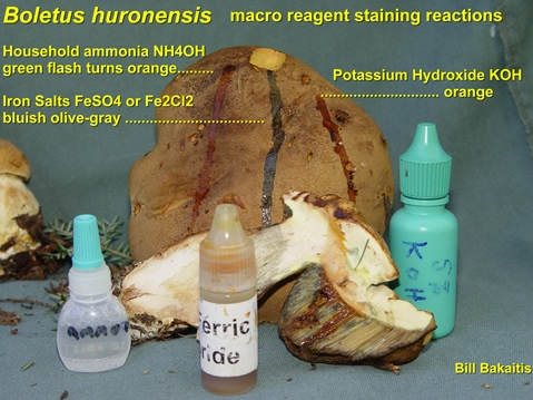 Boletus huronensis with chemicals