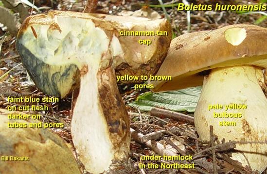 Boletus huronensis also