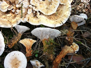 Hydnellum aurantiacum