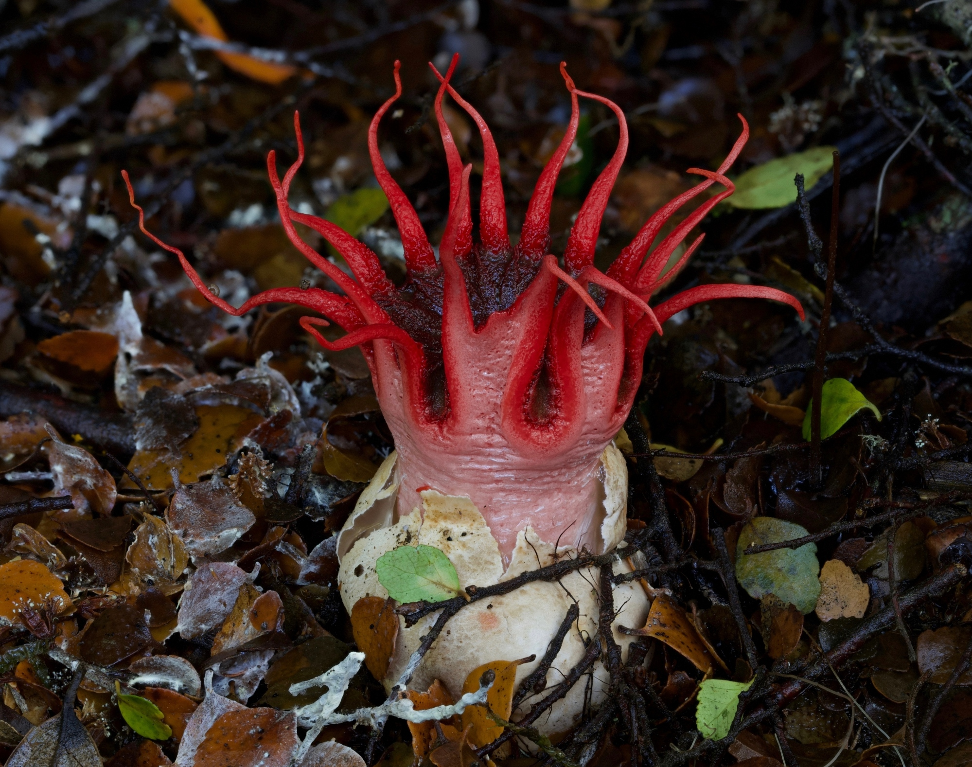 Aseroe rubra by Mark Bower
