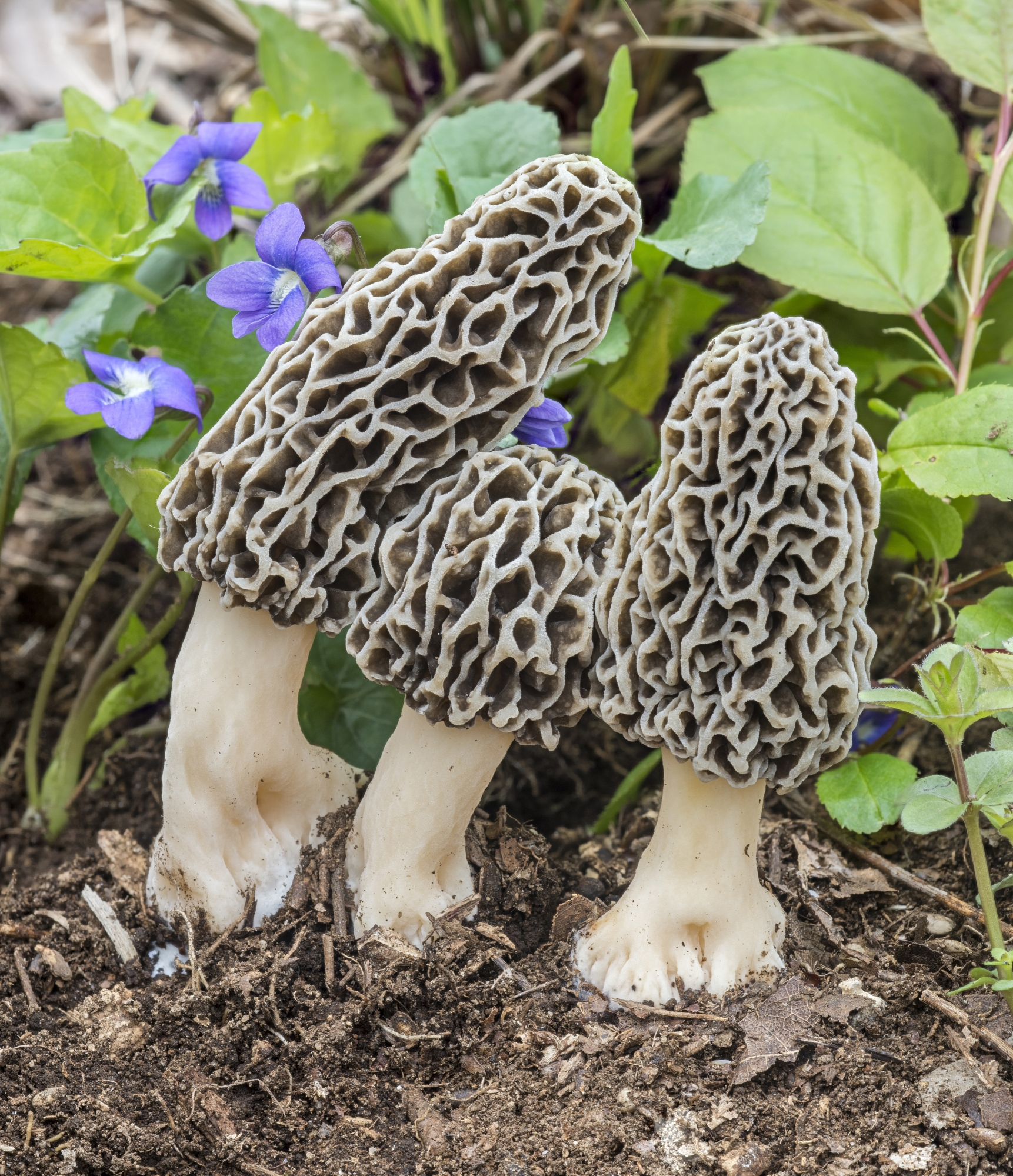 Morchella americana by Robert Gerulics - The 3 foragers