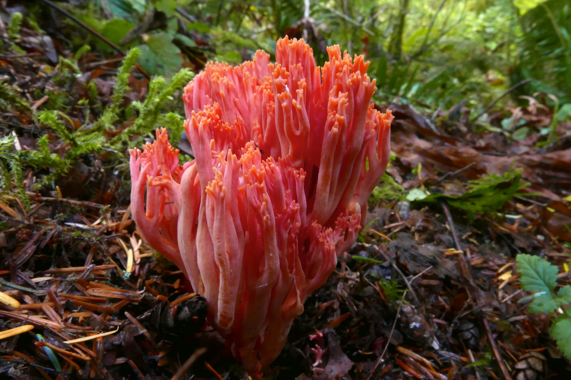 Limited Pictorial 1st Place Ramaria cyaneigranosa, by Steve Ness