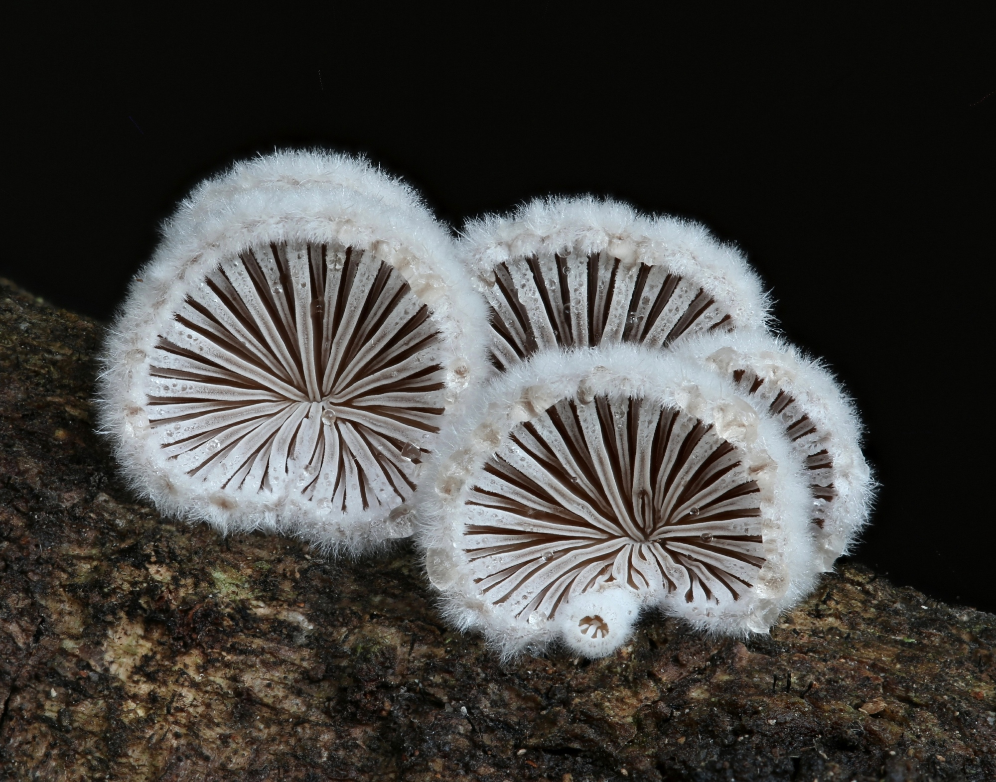 2nd Place Schizophyllum commune Mark Bower