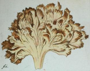 Sparassis crispa lithograph