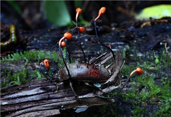Ophiocoydyceps