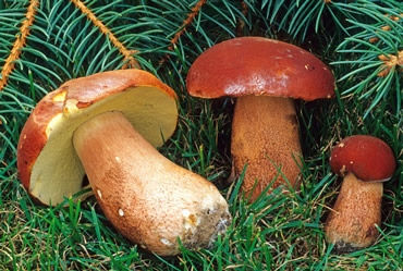 unidentified boletes