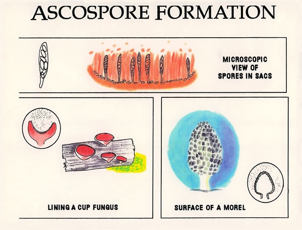 Ascospore Formation