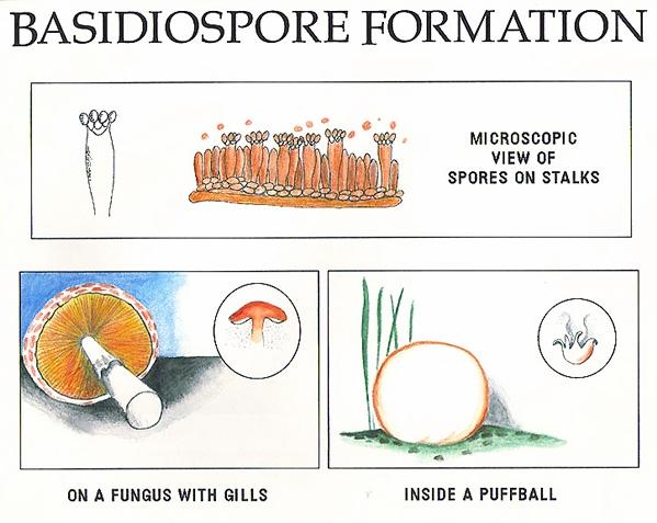 Basidiospore Formation