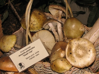 Amanita phalloides display in basket