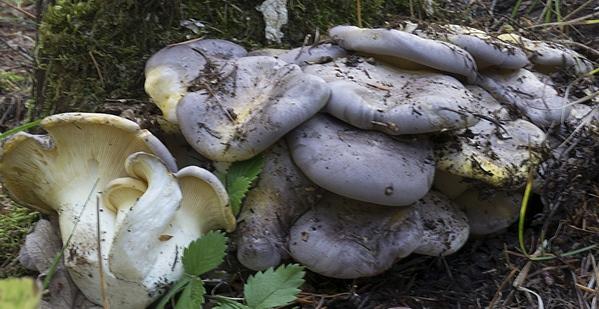 Sarcomyxa basidiomycete mystery mushroom