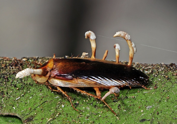 Cordyceps on Blattaria cockroach