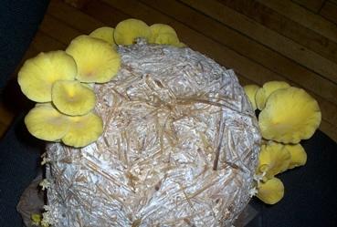 Golden oyster mushroom on straw