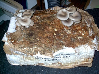 oyster mushrooms on newspaper