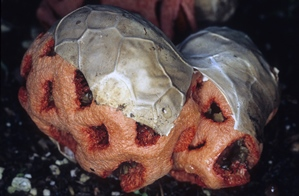 Clathrus ruber