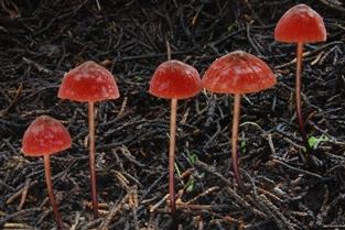 Marasmius plicatulus