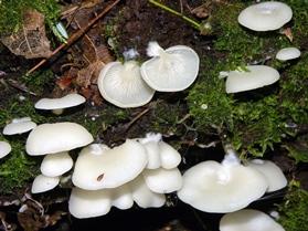 Cheimonophyllum candissimus