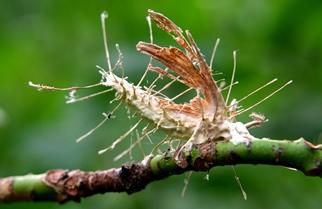 Akanthomyces aculeate