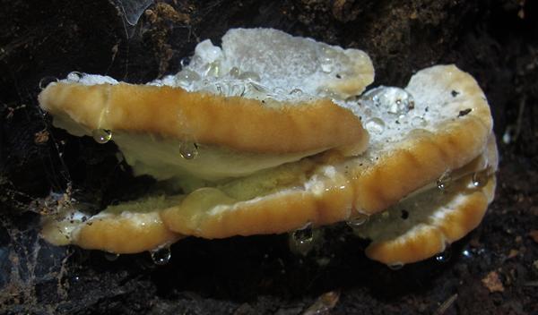 Fomitopsis spraguei